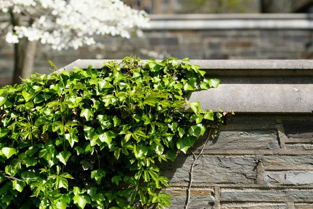 ivy removal service